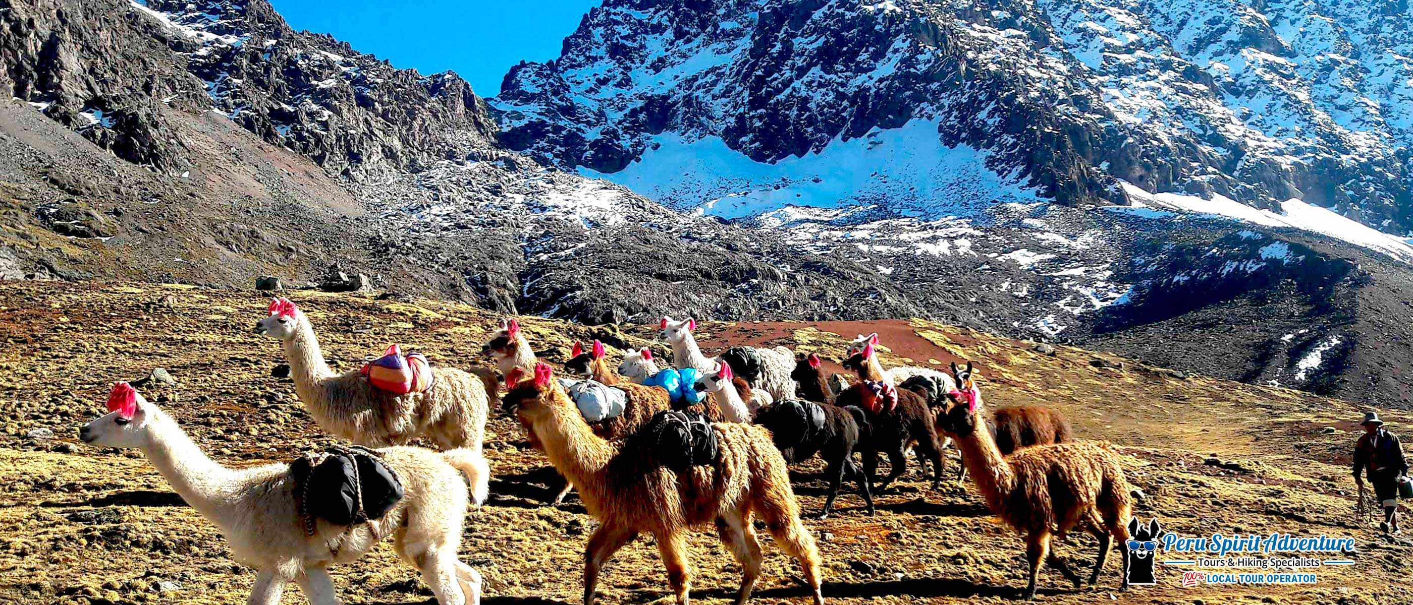 Trek in a wild landscape filled with llamas and alpacas on Ausangate trail